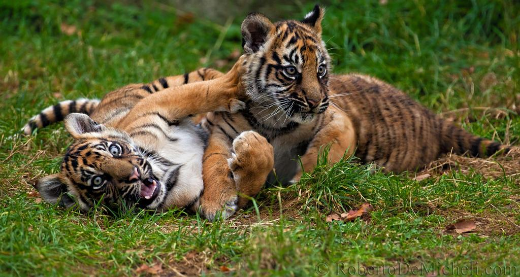 slides/IMG_1457.jpg sumatran, tiger, cub, wildlife, feline, big cat, cat, predator, fur, marking, stripe, eye, play WBCW111 - Sumatran Tiger Cubs